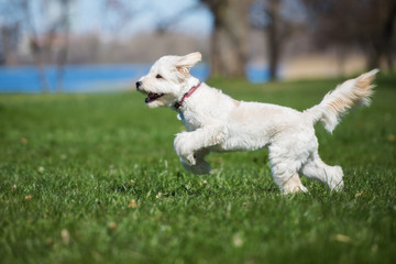 adorable labradoodle dog running outdoors