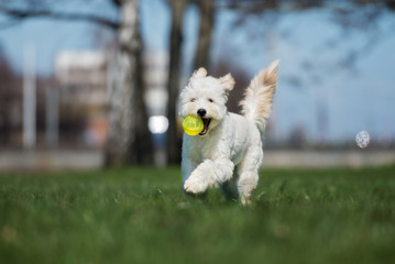 happy labradoodle dog running with a ball