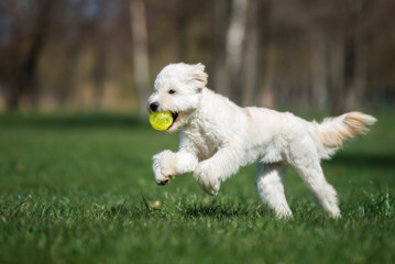 labradoodle dog playing with a ball