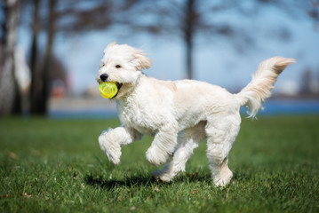 happy mixed breed dog running outdoors with a ball