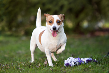 jack russell terrier dog standing outdoors