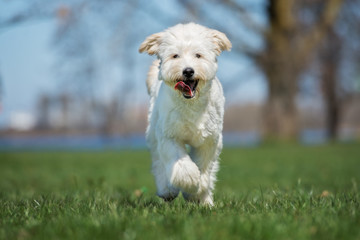 happy labradoodle dog running outdoors