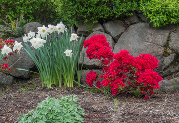 Daffodils And Azaleas