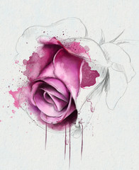 Beautiful watercolor rose with elements of the sketch
