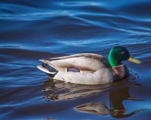 Birds and animals in wildlife. Amazing mallard ducks animal on water under sunlight view.