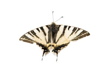 Butterfly sailfish