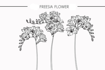 Freesia flowers drawing and sketch with line-art on white backgrounds.
