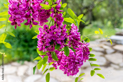 Blossoming robinia viscosaammy locust tree stock photo and blossoming robinia viscosaammy locust tree mightylinksfo