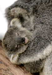 A baby Koala named 'Cooee' is held by its mother at Sydney's Taronga Zoo in Sydney.