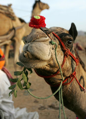 -PHOTO TAKEN 19NOV04- A decorated camel eats in Pushkar in the northwest Indian state of Rajastan No..