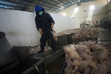 A worker sorts chickens at an industrial slaughterhouse near Herat
