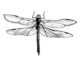 dragonfly - beautiful detailed sketch tattoo