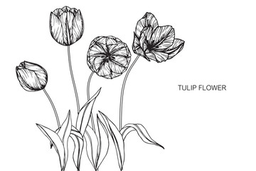 Tulip flowers drawing and sketch with line-art on white backgrounds.