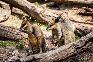 wallaby in Australia