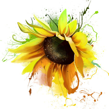 Vivid sunflower closeup on a white background, splashes of watercolor paint