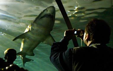 VISITOR PHOTOGRAPHS A GREY NURSE SHARK AT SYDNEY AQUARIUM.