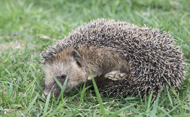Hedgehog rests upon herb