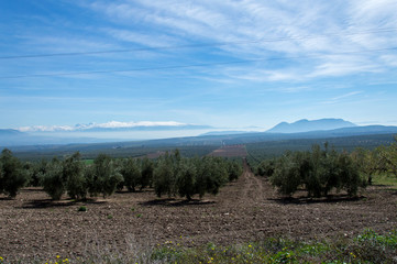 Idyllic view of olive tree plantation during springtime, in front of Sierra Nevada, Andalusia, Spain