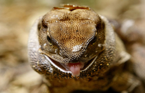 An adult frill-neck lizard pokes its tongue during feeding time at Sydney Wildlife World