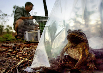 A cane toad sits inside a plastic bag at a billabong south of Darwin, Australia.