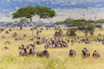 Great Migration. Zebra and Wildebeest herds during migration in Serengeti national park Tanzania Africa