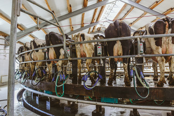 Carousel milking parlor for cows