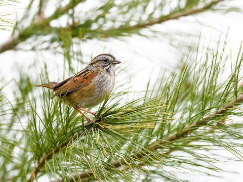 Swamp Sparrow Perched on a Pine tree