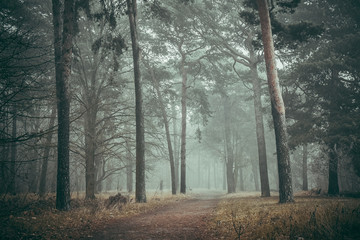 Foggy forest (horizontal)