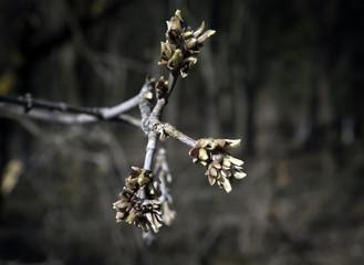 Buds on branch, awakening