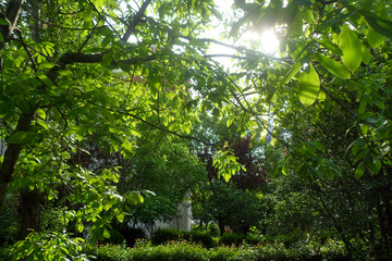 walnut, tree, garden, green, nature, forest, trees, spring, trees, leaf, jungle, wood, botany,