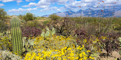 Panorama of Saguaro National Park in full spring bloom: Flowering Brittlebrush and Ocotillos with Prickly Pear and Cholla, a young Giant Saguaro, and other Sonoran Desert plants