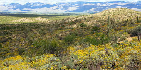 Saguaro National Park in full spring bloom: long view of Sonoran Desert landscape and Santa Catalina Mountains