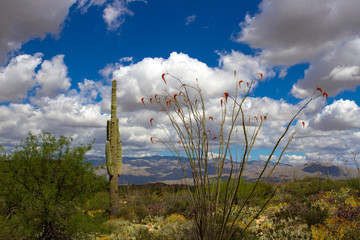 Saguaro National Park in full spring bloom: flowering Ocotillo, Giant Saguaro, Mesquite, mountains and dramatic sky