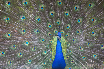 Portrait of male peacock in display