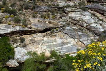 Yellow Brittlebrush flowers above Sabino Creek in Sabino Canyon, near Tucson, Arizona