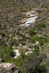 Giant Saguaro cacti along a canyon wall in Sabino Canyon, near Tucson, Arizona