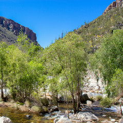 Giant Saguaro cacti and deciduous trees along Sabino Creek in Sabino Canyon, near Tucson, Arizona