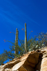 Giant Saguaro and flowering Ocotillo cacti in Sabino Canyon near Tucson, Arizona