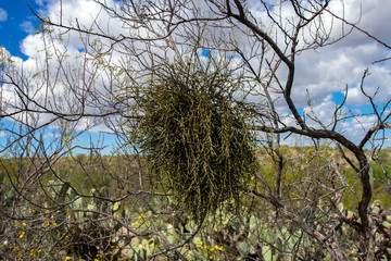 Parasitic Desert Mistletoe has killed a mesquite tree in Saguaro National Park in Arizona