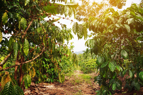 Robusta coffee farm and plantation on the south mountain of Thailand.
