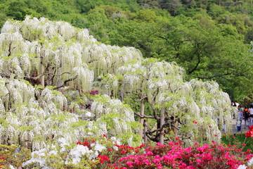 藤 花 あしかがフラワーパーク 観光 日本