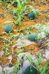 Watermelons growing in the field