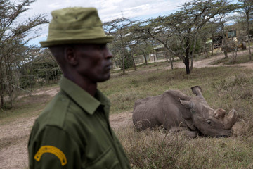 A warden guards Sudan, the last surviving male northern white rhino, at the Ol Pejeta Conservancy in Laikipia national park