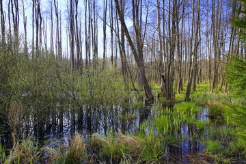 podmokły las