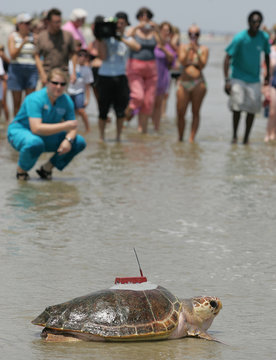 A loggerhead sea turtle named Golden Boy is carried to the water by staff members of the Georgia Sea Turtle Center past a crowd on Jekyll Island.