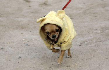 A pet Chihuahua wearing a coat walks on a street in Beijing