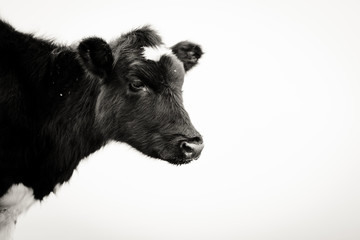 Black and white of a cow's head