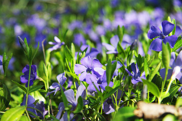 Beautiful violets in green leaves and grass. Flowers and greens. Garden or park. Spring.