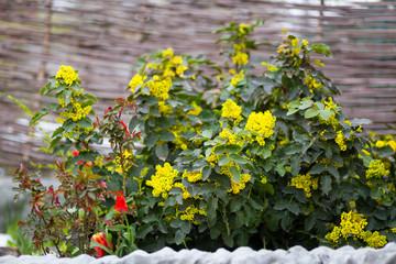 flower Oregon grape,Flowering Mahonia aquifolium.Mahonia aquifolium Oregon-grape wild flower holly leaves, evergreen in spring time,Flowering bush, yellow flowers