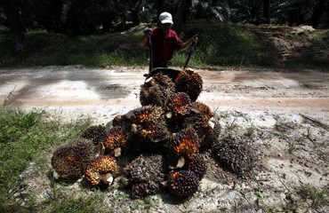 Worker collects oil palm fruits in Sepang